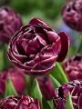 Dream Touch tulip