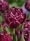 Tulip 'Dream Touch' (Pack of 15 Bulbs)