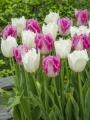 Huis Ten Bosch Tulip