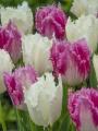Mix Tulips