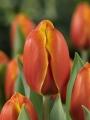 Tulip 'Triple A'