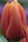 Triple A Tulip