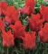 Red Riding Hood tulips