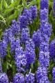 Hyacinths Delft blue