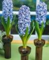 Hyacinth Delft Blue in vases