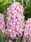 Hyacinth Pink Pearl (Pack of 6)