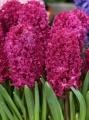 Hyacinth Jan Bos (Pack of 6 Bulbs)