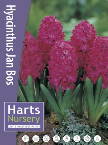 Hyacinth Jan Bos (Pack of 6 Bulbs)
