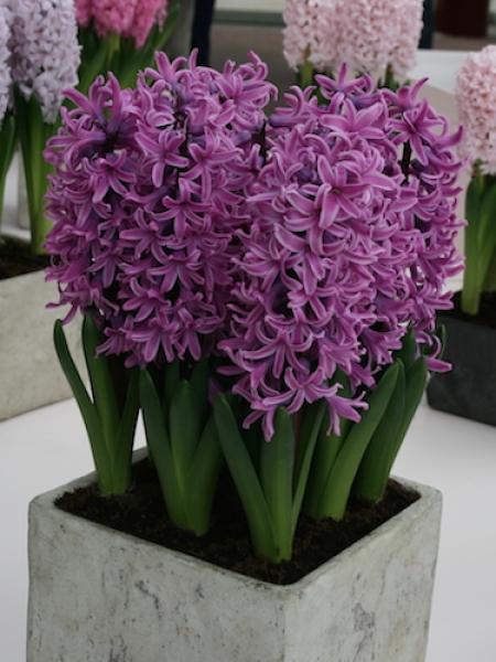 Hyacinth Paul Herman (Pack of 6)