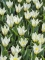 Group of Concerto tulips