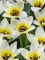 Concerto tulips