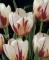 Happy Generation Tulip Bulbs