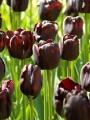 Paul Scherer tulips
