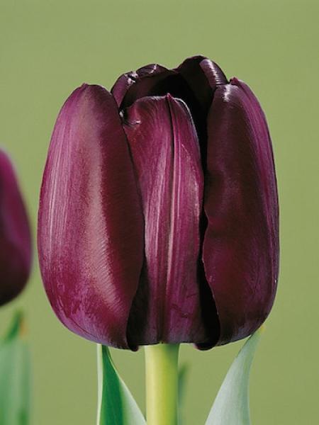 Tulip 'Paul Scherer'