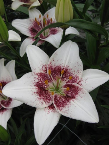 Lily 'White Pixel'