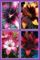 'Tiny Series' Lily Bulb Collection (Pack of 12 Bulbs)