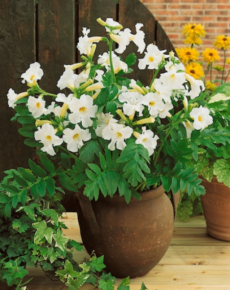 Incarvillea Snowtop (Pack of 3 Bulbs)