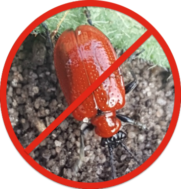 Lily Beetle Prevention