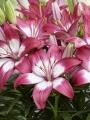 Dwarf Asiatic Lily Perfect Joy