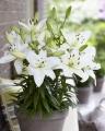 Asiatic Pot Lilies, Sparkling Joy