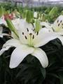 Lily 'Sparkling Joy'