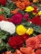 Mixed Double Begonia (Pack of 15 Corms) | Amazing Price!