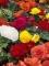 Mixed Double Begonias