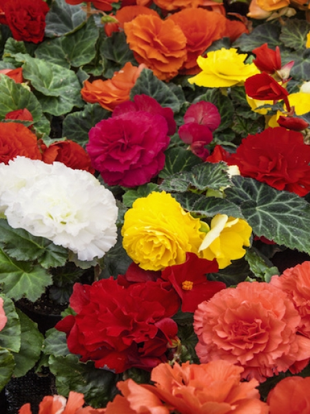 Mixed Double Begonia (Pack of 15 Corms)