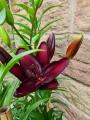 Dark Secret lily