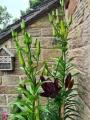 Dark Secret Asiatic Lily in pot