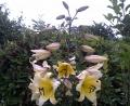 Huge tree lily Manissa