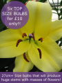 Lily 'Manissa' (Pack of 5 Large Bulbs)