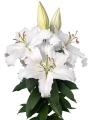 Proposal Oriental Trumpet Lily