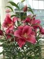 Largo Lily