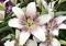 Sweet Zanica Longiflorum Asiatic Lily