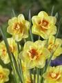 Tahiti Daffodil