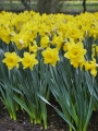 Dutch Master Daffodils