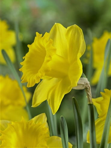 Narcissus 'Dutch Master' (Pack of 20 Bulbs)