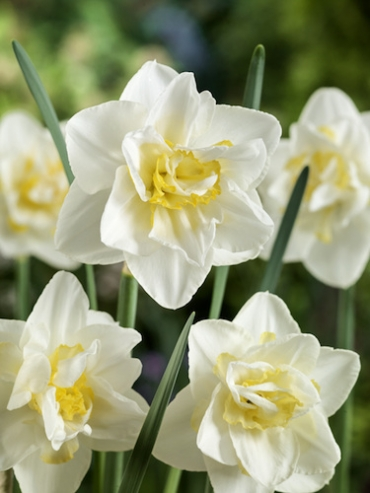 Narcissus 'White Lion' (Pack of 20 Bulbs)