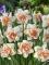 Replete Tulip