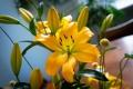 Cavaria Yellow Lily