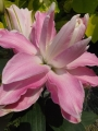 Double Pink Lily Sabor