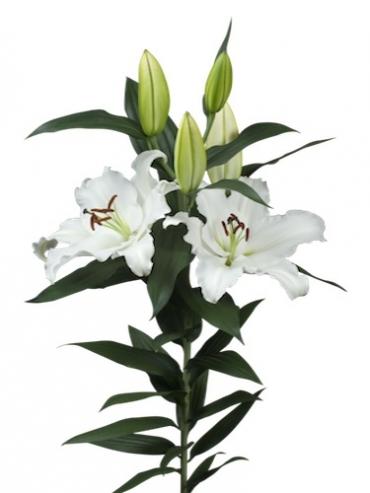 Lily 'Signum'