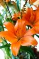 Orange Lily Sunderland