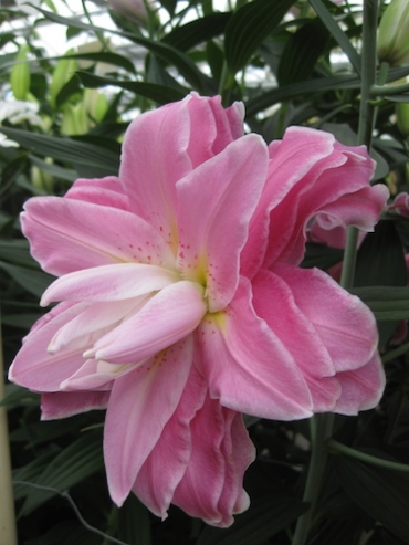 Lily 'Accolade'