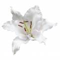 Cameleon Lily