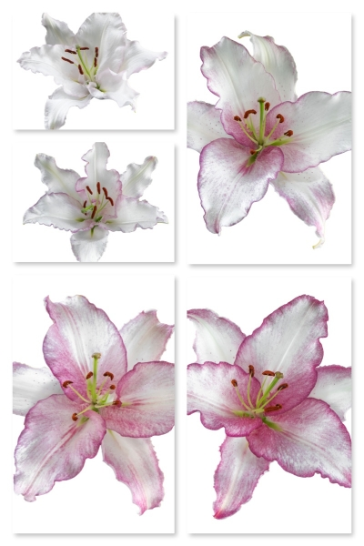 Lily 'Cameleon'