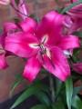 Giant Lily 'Robina' (Pack of 5 huge Bulbs)