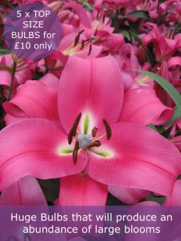 Lily 'Robina' (Pack of 5 huge Bulbs)
