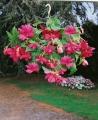 Pink Begonia Pendula